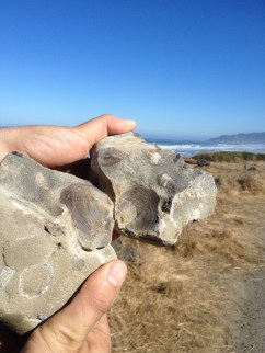 Rockhounding - Oregon Coast adventure, clam fossils!